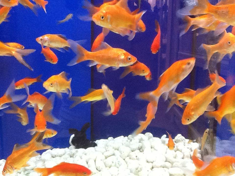 Peces de agua fria alimentaci n y cuidado tot d 39 animals for Alimentacion para peces de agua fria